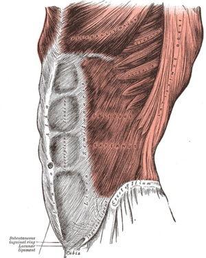 عضله مورب خارجی (External Oblique)
