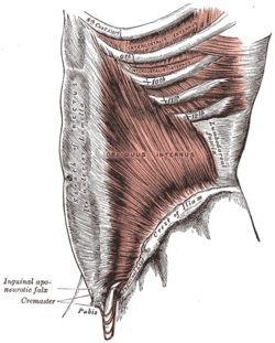 عضله داخلی مورب (Internal Oblique)