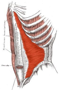 عضله عرضی شکم (Transversus Abdominis)